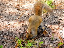 Squirrel digging ground Royalty Free Stock Images