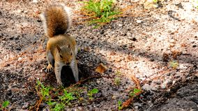 Squirrel digging Stock Images