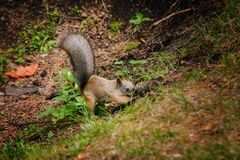 Free Squirrel Digs A Nut In The Forest. He Hides His Food. Makes Stocks Stock Images - 172679704