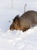 Squirrel digs snow Royalty Free Stock Images
