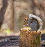 Squirrel dinner time Royalty Free Stock Photo