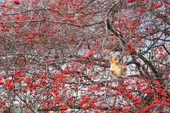 Squirrel on dogrose tree to eat berry. Squirrel on dogrose tree to eat red rose hips or briar berries fruit in winter. Wildlife animal with natural forest Stock Image