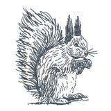Squirrel drawing Stock Photos
