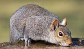 Squirrel drinking from bird bath Royalty Free Stock Photos