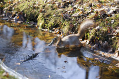 Squirrel drinking water Royalty Free Stock Photo