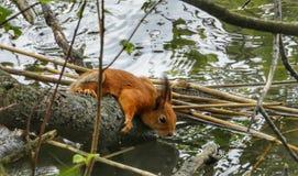 Squirrel drinking Water. Squirrels, squirrellife, waterbrake, squirrellovers, cuteanimals, squirrelphoto, animalsinworld, finnishnature, animalphotography royalty free stock photo