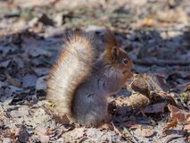Squirrel on a dry leaf Royalty Free Stock Photography
