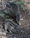 Squirrel & Duck Stock Photography