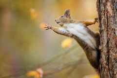 Squirrel eagerly reaching for what she want most Royalty Free Stock Images
