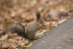 The squirrel on the earth. The squirrel with a nut in park on the earth Royalty Free Stock Images