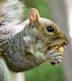 Squirrel. An eastern gray squirrel sits on a post eating sweet bay magnolia fruit in the sunshine stock image
