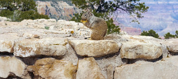 Squirrel eat acorn grand canyon Royalty Free Stock Images