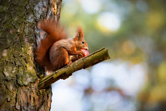 Squirrel eat apple on tree Royalty Free Stock Photography