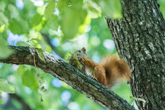 Squirrel eat hazelnut sitting. On a tree royalty free stock photography