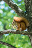 Squirrel eat hazelnut sitting. On a tree stock photo