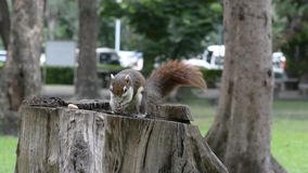 Squirrel eat nut on the stump. No Sound. stock footage