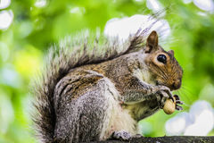 Squirrel eat a Nut. 2011 this was England, London Stock Photography
