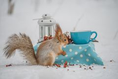 Squirrel eat nuts. From a blue cup at a small table in a snowy winter park royalty free stock images