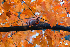 Squirrel eat nuts on branch of autumn tree Royalty Free Stock Image