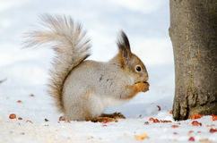 Squirrel eat nuts. Side view Stock Photo