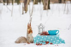 Squirrel eat nuts. From a blue cup at a small table in a snowy winter park.n stock photo