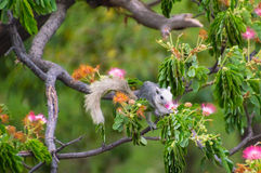 Squirrel eat the pollen of flower. On top of the tree royalty free stock images