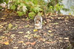 Squirrel eat sunflower seeds in the autumn forest royalty free stock photo