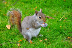 Squirrel eating Stock Images
