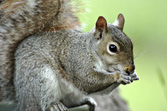 Squirrel Eating Royalty Free Stock Images