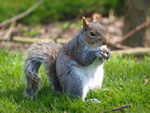 Squirrel Eating. Nuts in woodland Stock Photos