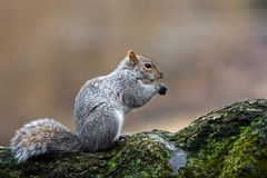 Squirrel eating Royalty Free Stock Photos