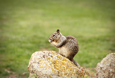 Squirrel Eating Stock Photography