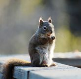 Squirrel eating Stock Photo
