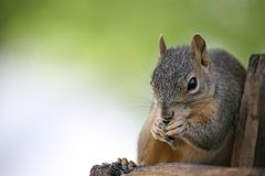 Squirrel eating. Closeup with copyspace Stock Photography