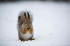 A squirrel eating. royalty free stock photography