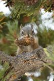 Squirrel Eating A Pine Cone In Yellowstone National Park Royalty Free Stock Photos