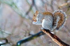 Squirrel eating an acorn Royalty Free Stock Photography