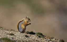 Squirrel Eating Acorn. A squirrel is standing still watching around Royalty Free Stock Photo