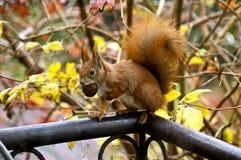Squirrel Eating Acorn Stock Image