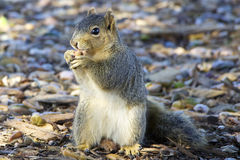 Squirrel eating an acorn Stock Photography