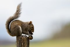 Squirrel eating acorn stock photo