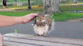 Squirrel eating almond, hand petting from behind stock video footage