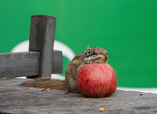 Squirrel eating an apple stock photography
