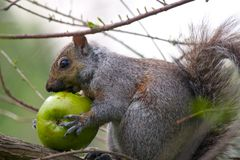 Squirrel Eating Apple Royalty Free Stock Photography