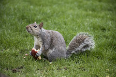 Squirrel eating apple in park Stock Image