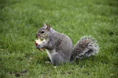 Squirrel eating apple in park Royalty Free Stock Photo