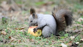 Squirrel eating an apple stock video footage