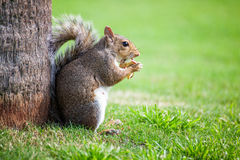 Squirrel eating apple Royalty Free Stock Image