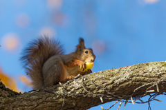 Squirrel eating an apple Royalty Free Stock Photography