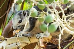 Squirrel eating Betel nut Stock Image